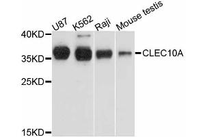 Image no. 1 for anti-C-Type Lectin Domain Family 10, Member A (CLEC10A) antibody (ABIN6567271)