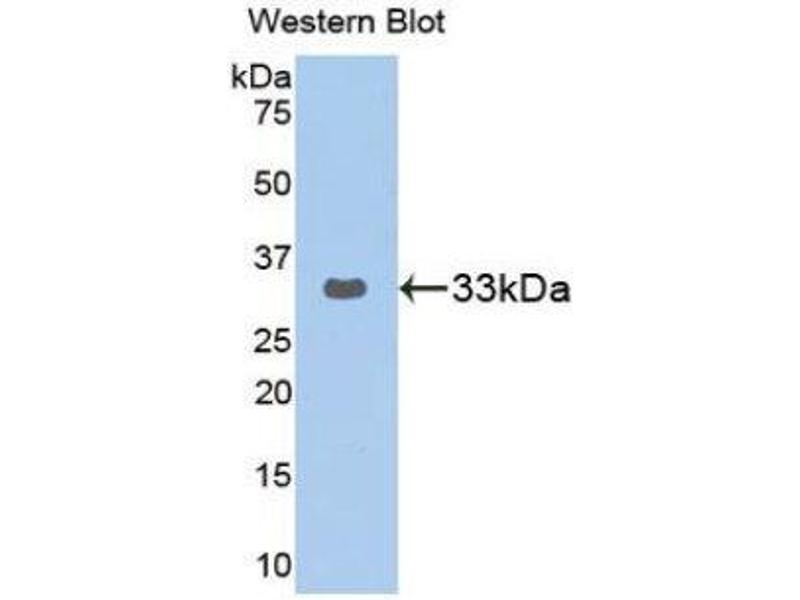 Western Blotting (WB) image for anti-GRB2-Related Adaptor Protein 2 (GRAP2) (AA 77-325) antibody (ABIN1859064)