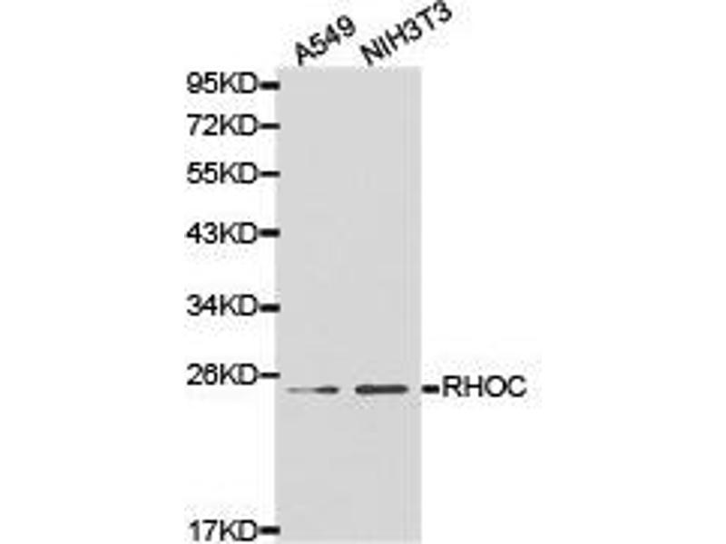 Western Blotting (WB) image for anti-Ras Homolog Gene Family, Member C (RHOC) antibody (ABIN1874605)