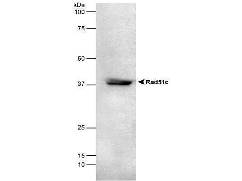 Western Blotting (WB) image for anti-RAD51C antibody (RAD51 Homolog C (S. Cerevisiae)) (ABIN151297)