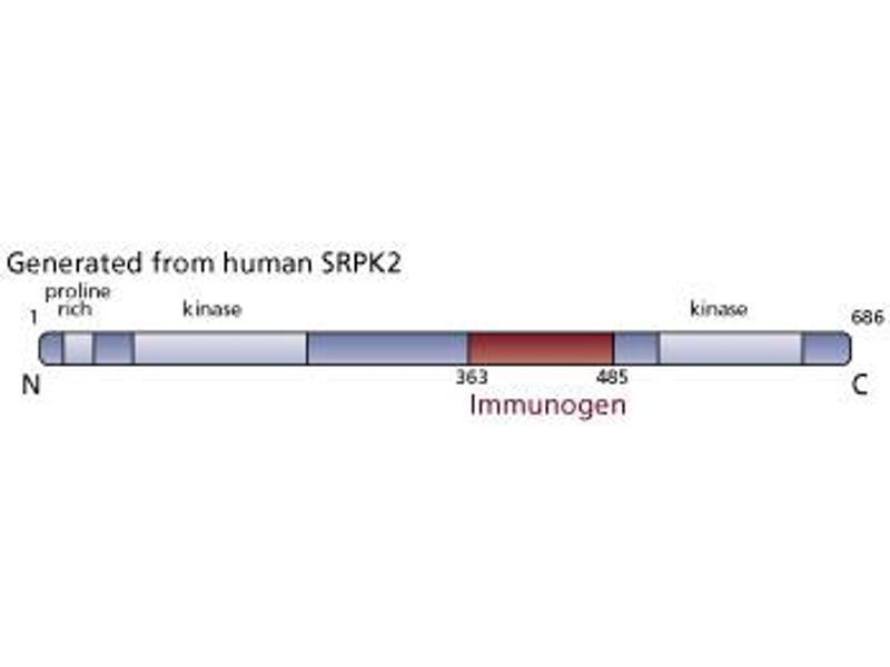 image for anti-SFRS Protein Kinase 2 (SRPK2) (AA 363-485) antibody (ABIN968376)