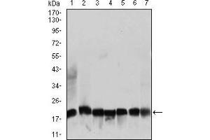 Western Blotting (WB) image for anti-Ribosomal Protein L18a (RPL18A) (AA 50-176) antibody (ABIN1724797)