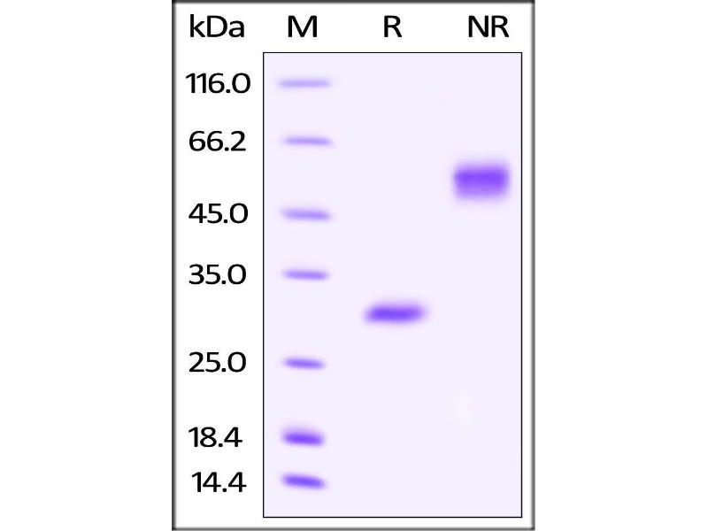 SDS-PAGE (SDS) image for VEGF 165 (AA 27-191) (Active) protein (AVI tag,Biotin,His tag) (ABIN4949042)
