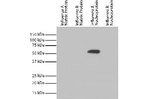Image no. 1 for anti-Influenza Nucleoprotein antibody (Influenza A Virus) (HRP) (ABIN5707181)