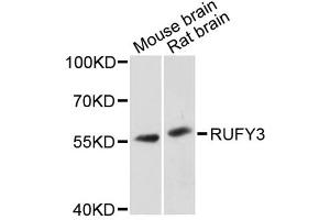 Image no. 1 for anti-RUN and FYVE Domain Containing 3 (RUFY3) antibody (ABIN6567680)