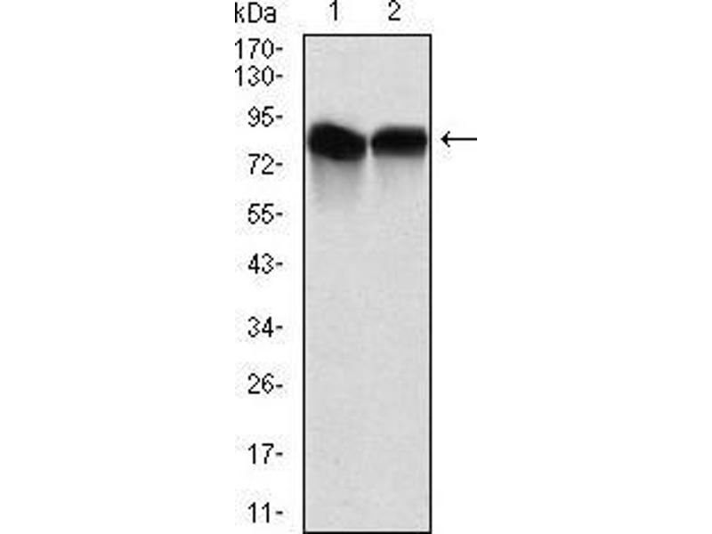 Western Blotting (WB) image for anti-Neural Precursor Cell Expressed, Developmentally Down-Regulated 8 (NEDD8) antibody (ABIN969547)