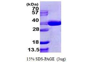 Image no. 1 for SEC13 Homolog (S. Cerevisiae) (SEC13) (AA 1-322) protein (His tag) (ABIN667416)