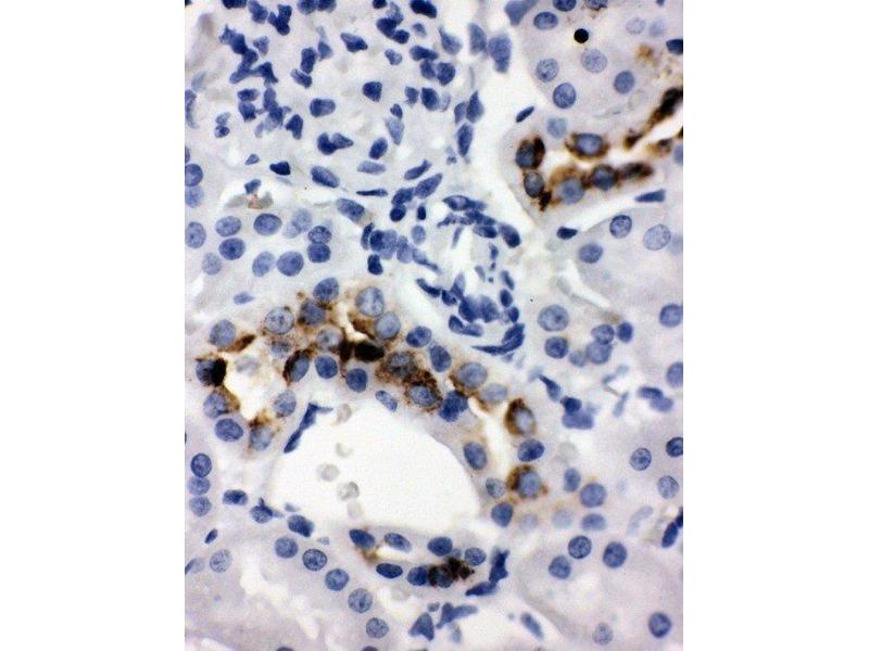 Immunohistochemistry (IHC) image for anti-Kallikrein 1 antibody (KLK1) (AA 243-261) (ABIN3043136)