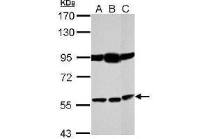 Image no. 1 for anti-Bestrophin 1 (BEST1) (Center) antibody (ABIN2854513)