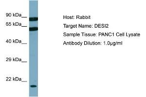 Image no. 1 for anti-PPPDE Peptidase Domain Containing 1 (PPPDE1) (C-Term) antibody (ABIN2776903)
