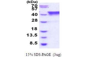 Image no. 1 for TIA1 Cytotoxic Granule-Associated RNA Binding Protein-Like 1 (TIAL1) (AA 1-375) protein (His tag) (ABIN5854001)