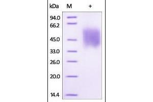 SDS-PAGE (SDS) image for Growth Hormone Receptor (GHR) (AA 27-264) (Active) protein (Biotin,His tag) (ABIN2181160)