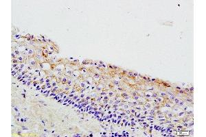 Immunohistochemistry (Paraffin-embedded Sections) (IHC (p)) image for anti-WNT3A antibody (Wingless-Type MMTV Integration Site Family, Member 3A) (AA 300-340) (ABIN733178)