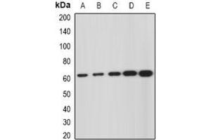Image no. 1 for anti-Glucosamine (N-Acetyl)-6-Sulfatase (GNS) (full length) antibody (ABIN6043492)