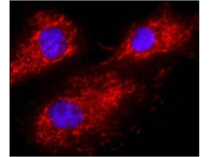 Immunofluorescence (IF) image for anti-Calnexin antibody (CANX) (ABIN152677)