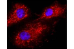 Immunofluorescence (IF) image for anti-Calnexin (CANX) antibody (ABIN152677)