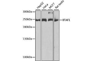 Image no. 1 for anti-TBP-Associated Factor 172 (BTAF1) antibody (ABIN6137676)