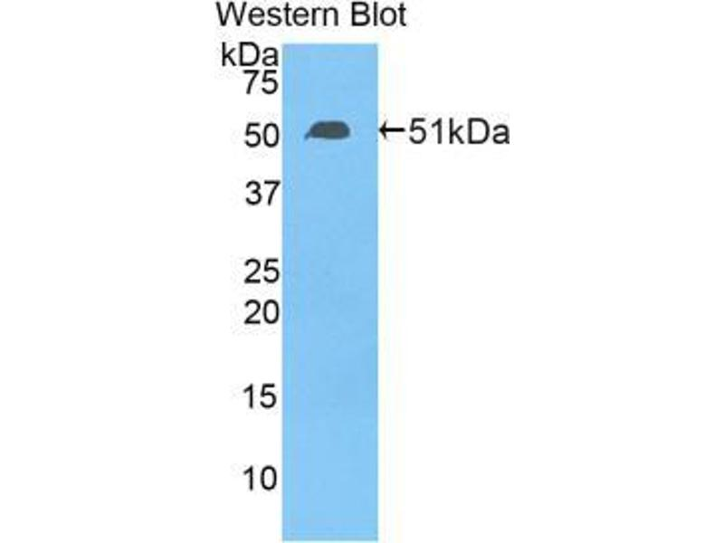 Western Blotting (WB) image for anti-Transcription Factor A, Mitochondrial (TFAM) (AA 43-244) antibody (ABIN2903410)