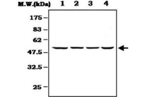 Image no. 1 for anti-Mitogen-Activated Protein Kinase-Activated Protein Kinase 5 (MAPKAPK5) antibody (ABIN532682)