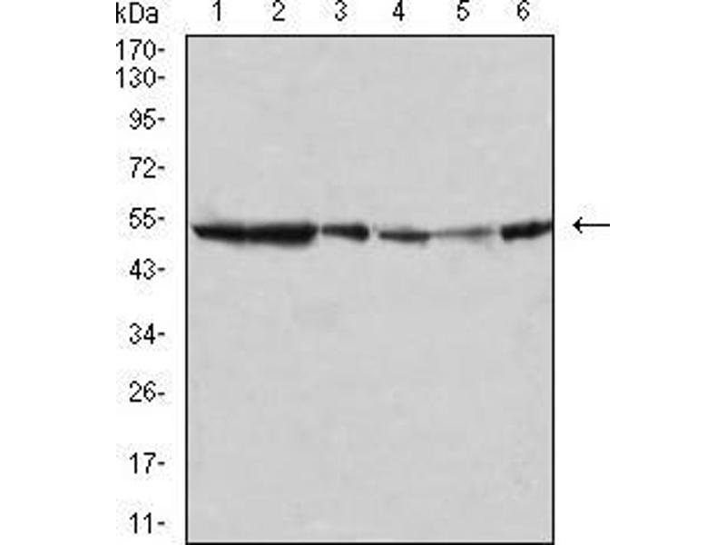 Western Blotting (WB) image for anti-Mitogen-Activated Protein Kinase 10 (MAPK10) (AA 180-329) antibody (ABIN5542487)