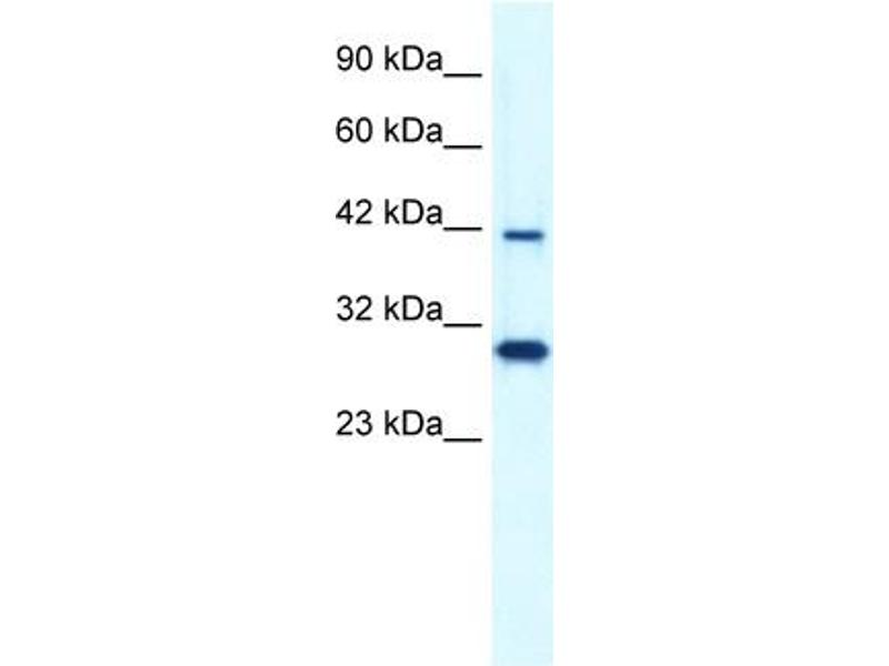 Western Blotting (WB) image for anti-Prolactin Regulatory Element Binding (PREB) (N-Term) antibody (ABIN2778276)