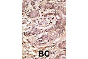 Image no. 2 for anti-Small Ubiquitin Related Modifier 4 (SUMO4) (Wild Type) antibody (ABIN2504040)