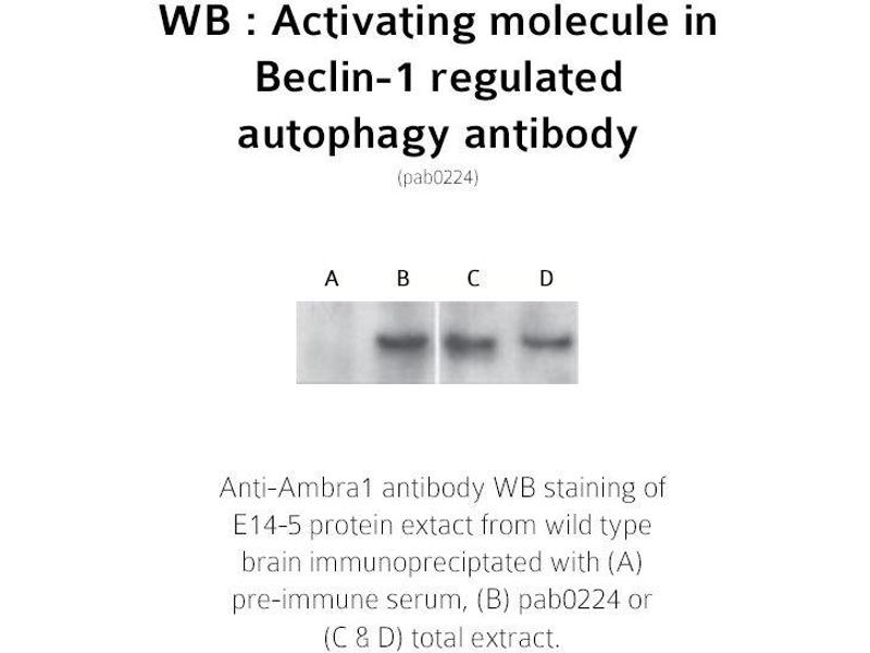 image for anti-AMBRA1 antibody (Autophagy/beclin-1 Regulator 1) (N-Term) (ABIN347117)