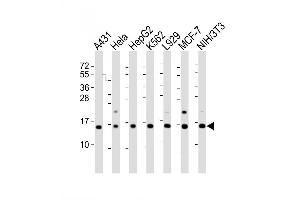 Image no. 2 for anti-Histone Cluster 1, H2ag (HIST1H2AG) (AA 63-87), (Center) antibody (ABIN2838556)