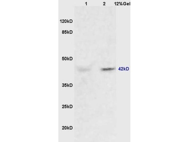 SDS-PAGE (SDS) image for anti-Mitogen-Activated Protein Kinase 1/3 (MAPK1/3) (AA 320-356) antibody (ABIN748373)