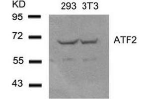 Image no. 4 for anti-Activating Transcription Factor 2 (ATF2) (Ser44), (Ser62) antibody (ABIN197144)