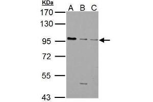 Image no. 4 for anti-gamma-aminobutyric Acid (GABA) B Receptor, 1 (GABBR1) (Internal Region) antibody (ABIN2855413)