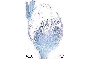 image for anti-Abscisic Acid (ABA) antibody (ABIN125901)