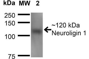 Western Blotting (WB) image for anti-Neuroligin 1 (NLGN1) (AA 718-843) antibody (Atto 390) (ABIN1741306)