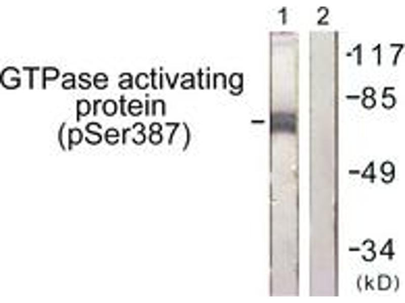 Western Blotting (WB) image for anti-GTPase Activating Protein (GAP) (pSer387), (AA 353-402) antibody (ABIN1531650)