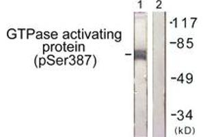 Western Blotting (WB) image for anti-GTPase Activating Protein (GAP) (AA 353-402), (pSer387) antibody (ABIN1531650)