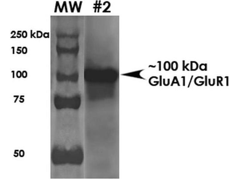 Western Blotting (WB) image for anti-GRIA1 antibody (Glutamate Receptor, Ionotropic, AMPA 1) (AA 1-389) (Atto 390) (ABIN2485593)