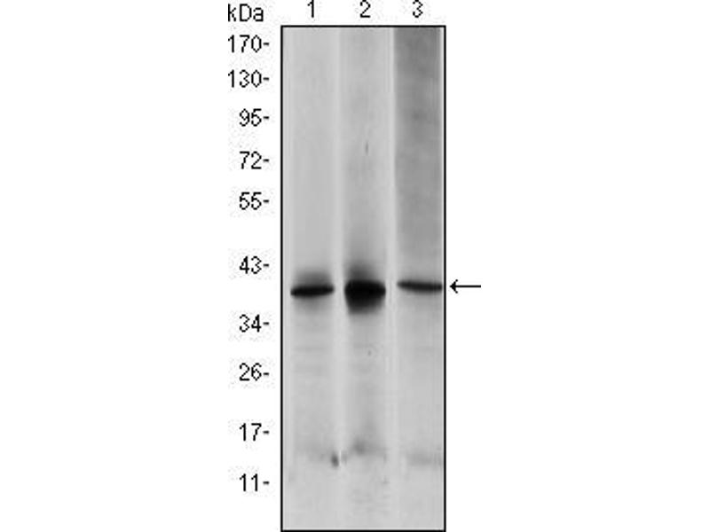 Western Blotting (WB) image for anti-MAP2K6 antibody (Mitogen-Activated Protein Kinase Kinase 6) (ABIN969269)