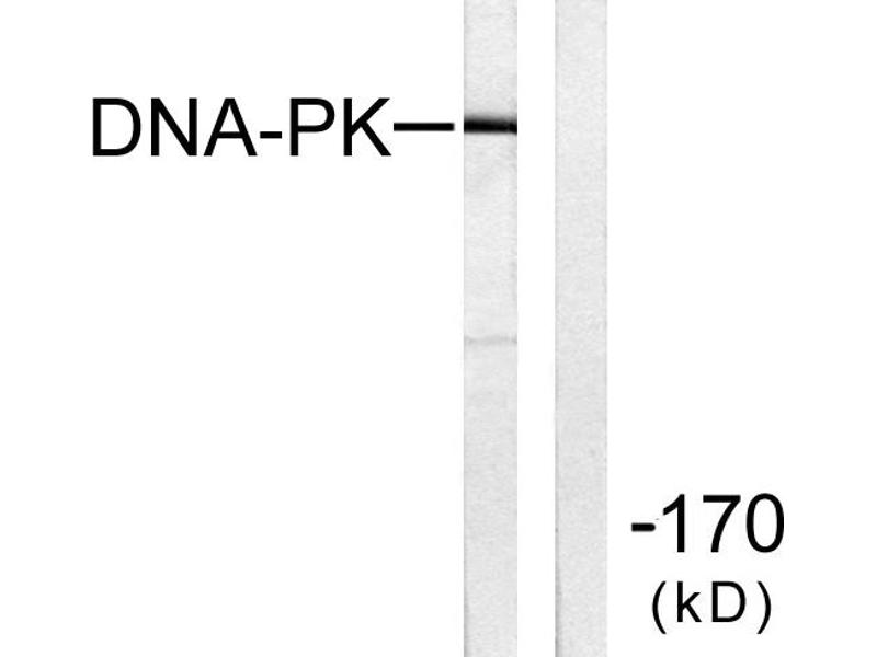 Image no. 2 for anti-DNA-PK antibody (ABIN1576098)