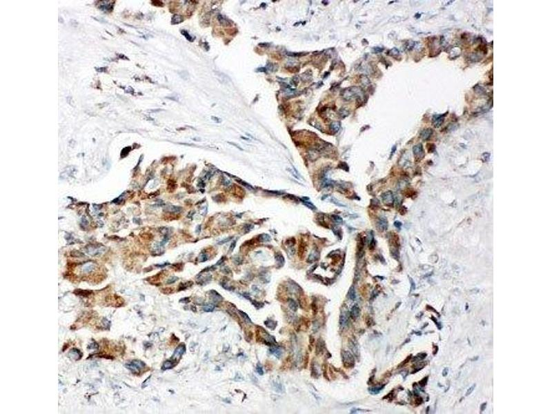 Immunohistochemistry (IHC) image for anti-Toll-Like Receptor Adaptor Molecule 2 (TICAM2) (C-Term) antibody (ABIN3029187)