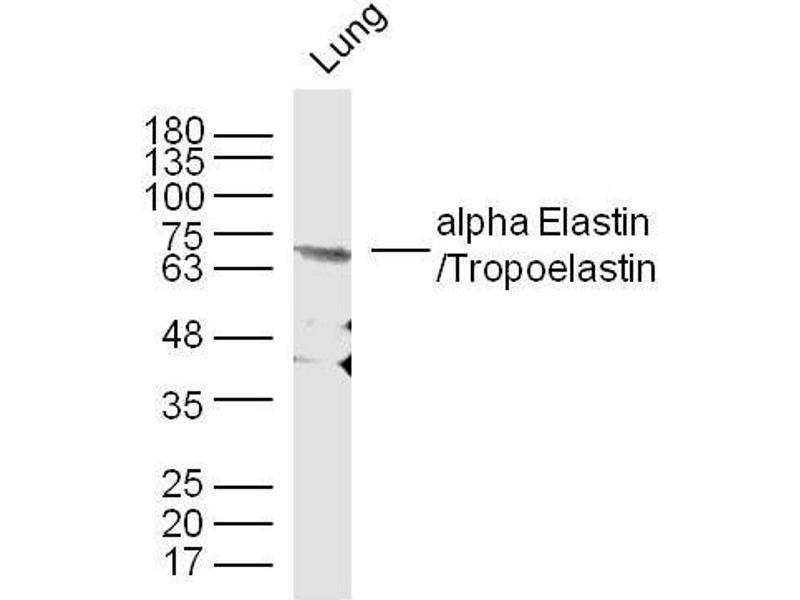 Western Blotting (WB) image for anti-Elastin (ELN) (AA 750-786) antibody (ABIN734003)