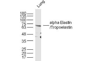 Western Blotting (WB) image for anti-Elastin (ELN) (AA 750-786) anticorps (ABIN734003)