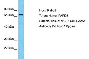 Image no. 1 for anti-PAP Associated Domain Containing 5 (PAPD5) (C-Term) antibody (ABIN2792079)