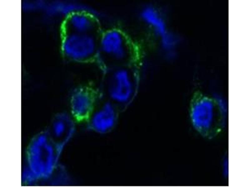 Immunofluorescence (IF) image for anti-EPH Receptor B4 antibody (EPHB4) (ABIN1107115)