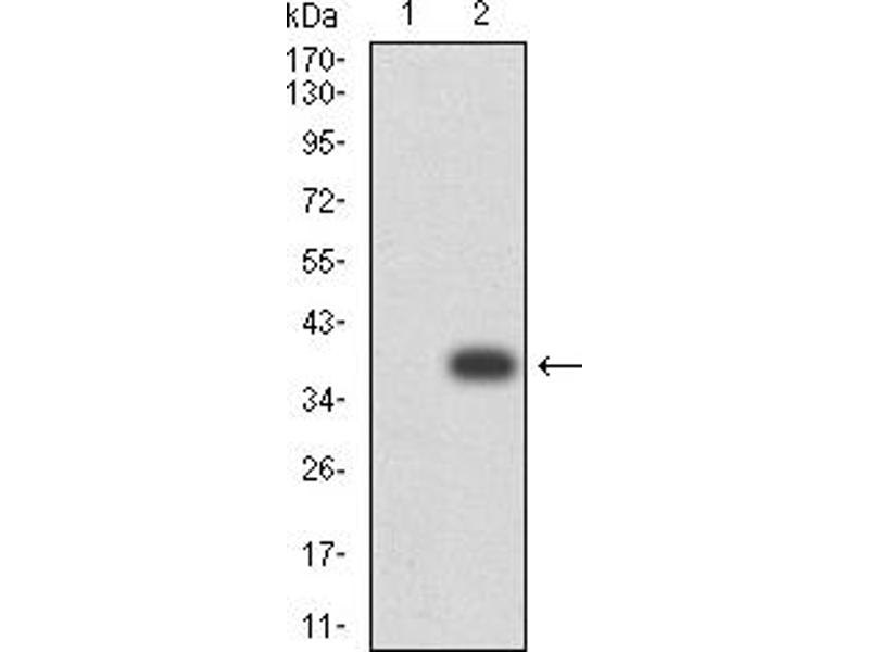 Western Blotting (WB) image for anti-Tumor Necrosis Factor Receptor Superfamily, Member 13C (TNFRSF13C) (AA 1-78) antibody (ABIN5611147)
