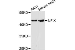 Image no. 1 for anti-Nuclear Factor I/X (MLZE) antibody (ABIN6571978)