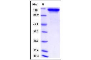 Image no. 1 for Neuroligin 1 (NLGN1) (AA 1-697), (Extracellular Domain) protein (His tag) (ABIN2008241)