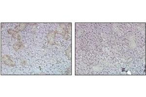 Image no. 1 for anti-Fat Mass and Obesity-Associated (FTO) antibody (ABIN1169079)