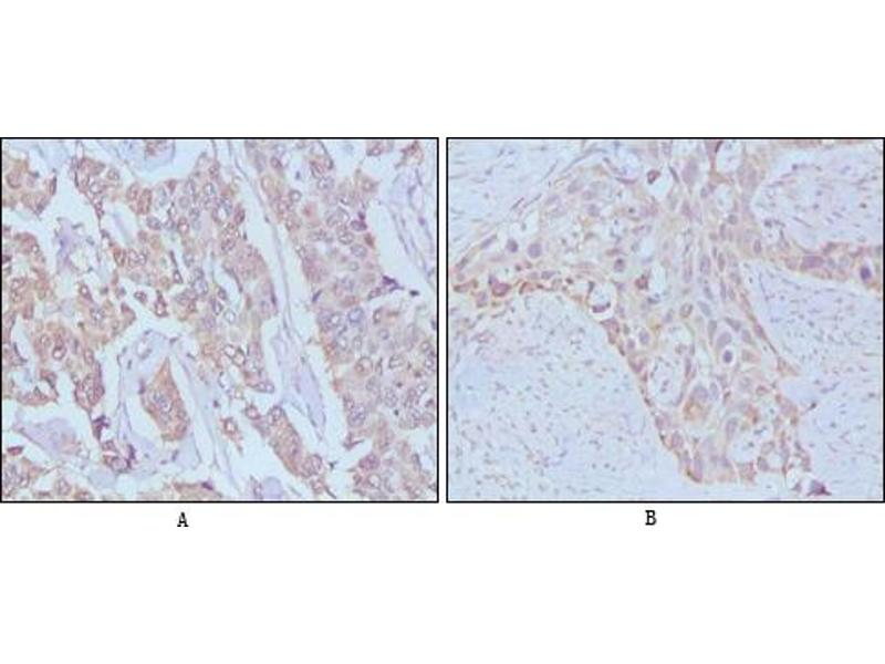 Immunohistochemistry (IHC) image for anti-EGF antibody (Epidermal Growth Factor) (ABIN969091)