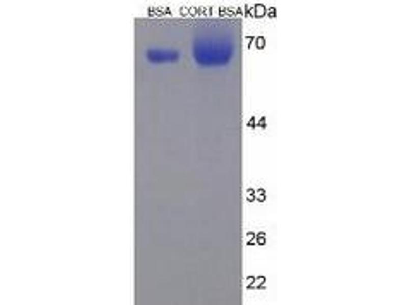 Image no. 1 for Cortistatin (CORT) ELISA Kit (ABIN6574088)