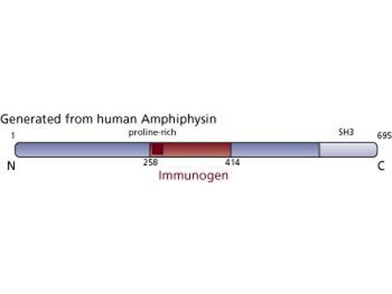 image for anti-Amphiphysin antibody (AMPH) (AA 258-414) (ABIN968131)